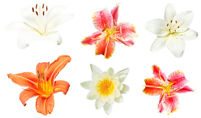 set of lily flowers isolated on white