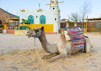 The lonely camel