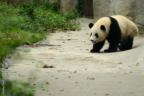 Giant panda bear cute walking Chengdu, China