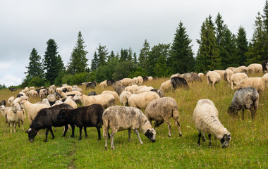 Flock of sheep in the meadow in the Carpathians