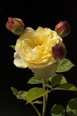 Englische, Rose, David, Austin, Strauchrose,