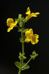 Gauklerblume, Mimulus, aurantiacus
