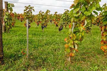 Pinot of ripe Merlot grapes