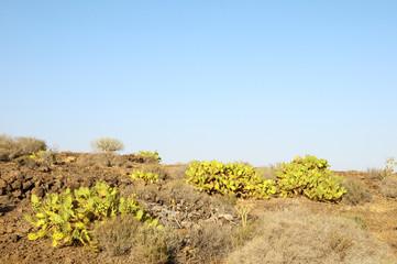 Green Big Cactus in the Desert