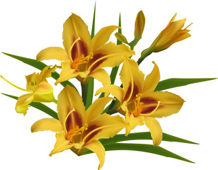 three large yellow lilies isolated on white