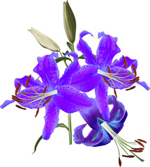 dark blue lily isolated on white