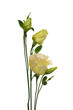 Yellow lisianthus or eustoma flowers on white background