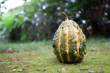 green pumpkin with yellow stripes on ground