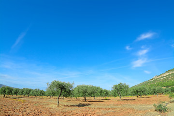 olive trees under a blue sky