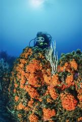 Mediterranean Sea, diver, white gorgonians and parazoanthus