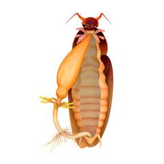 Cockroach digestive system