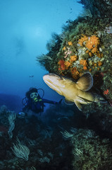 Mediterranean Sea, tunisia, Tabarka, diver and grouper