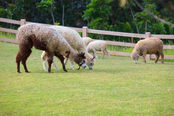folk of llama alpacas latin america cattle  feeding in farm gras