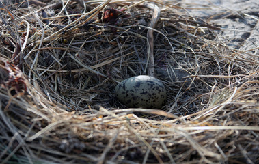 One Seagull egg in a nest on a rock in the sea of Okhotsk