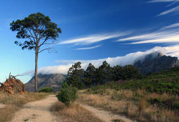 Pine tree against the sky and Тable mountain in Cape town