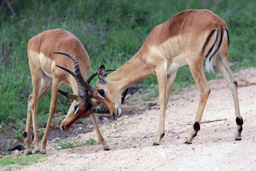 Two young male African antelope Impala beat horns