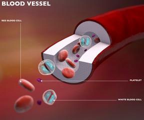 Sezione vaso sanguigno arteria, vena, globuli rossi