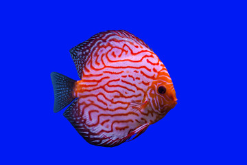 Pompadour Fish