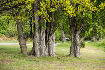 Willows tree in Wanaka lakeside