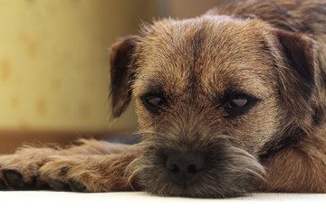 Sad border terrier. Clever dog