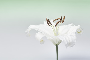 White lily close-up macro shot in studio on pastel background de