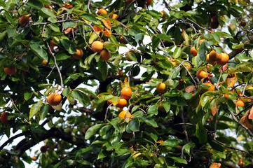 Kaki persimmon-5
