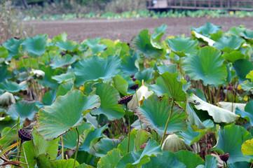 Lotus leaves-13