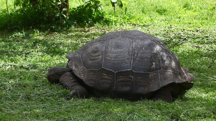 Galapagos Tortoise, Geochelone nigra, close view
