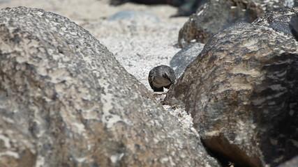 Hood Mockingbird, Mimus macdonaldi, from Galapogos