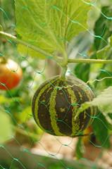 "Miniature ""Vietnamese"" melon winding grid"
