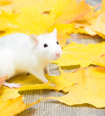 white pet rat in yellow maple leaves