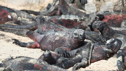 A group of The Marine Iguana, Amblyrhynchus cristatus, sunning i