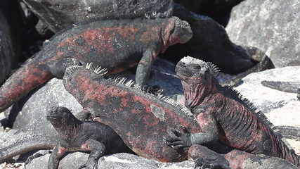A group of The Marine Iguana, Amblyrhynchus cristatus, from the