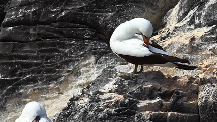 Nazca Booby, Sula granti, from the Galapagos