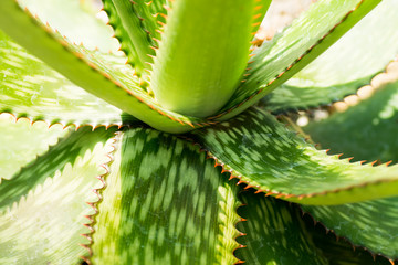 Pattern of Aloe humilis, XANTHORRHOEACEAE, South Africa