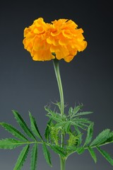 Marigold (Tagetes Erecta) Flower on Gray Background