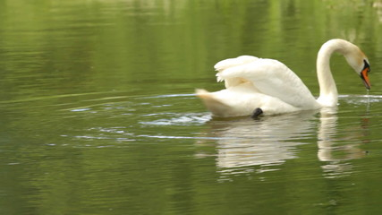 White Swan dives on a pond