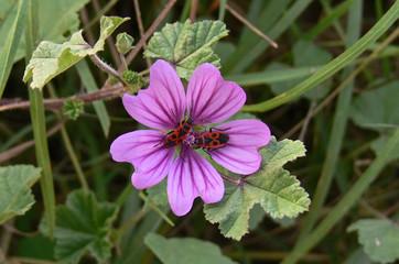 pianta di malva (Malva sylvestris) con cimici rosse