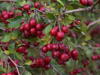 bacche rosse di biancospino (Crataegus monogyna)