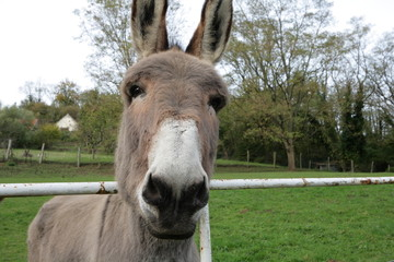 âne domestique (Equus asinus)