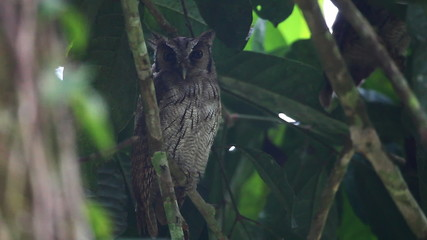 Tropical Screech Owl, Megascops choliba, roosting