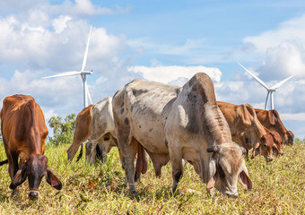 A mixed herd of cattle with windmill farm on a bright sunny day