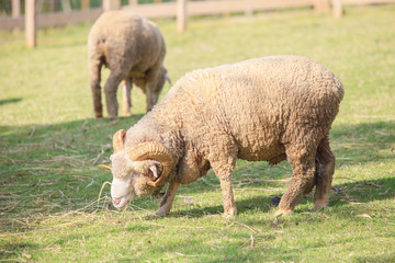 full body of male merino sheep feeding green grass in ranch live