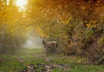 Doe in forest