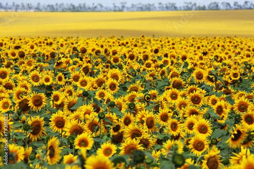 Foto op Canvas Zonnebloem Sunflower