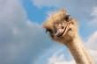 Leinwandbild Motiv Ostrich head closeup outdoors