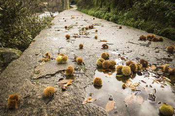 Fallen chestnuts hedgehogs on the way