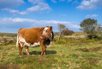 Brown and White Cow on Dartmoor Moorland