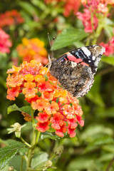 Red Admiral (Vanessa atalanta) colourful butterfly