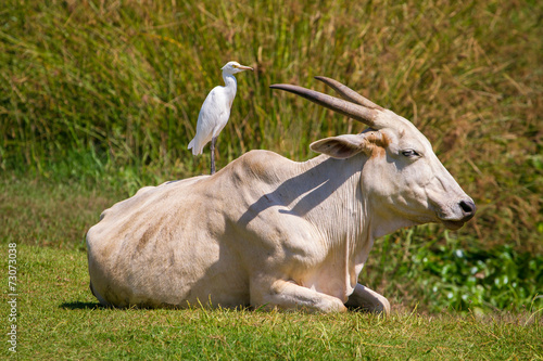 Fotobehang Buffel Bird sitting on the cow